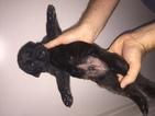 Puppy 0 Mastiff