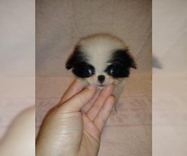 Medium Photo #5 Japanese Chin Puppy For Sale in SAINT HEDWIG, TX, USA