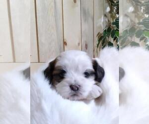Zuchon Puppy for sale in MARENGO, WI, USA