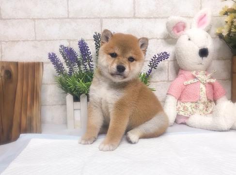 Shiba Inu puppy