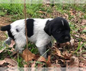 German Wirehaired Pointer Puppy for sale in SNOW CAMP, NC, USA