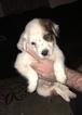 Australian Cattle Dog Puppy For Sale in STUARTS DRAFT, VA, USA