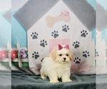 Puppy 15 ShihPoo