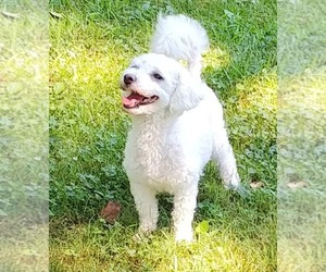Bichon Frise Puppy for sale in WINSTON SALEM, NC, USA