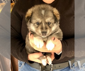 German Shepherd Dog-Siberian Husky Mix Puppy for sale in COTTONTOWN, TN, USA