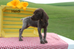 German Shorthaired Pointer Puppy For Sale near 44681, Sugarcreek, OH, USA