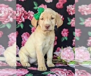 Labrador Retriever Puppy for sale in KINZERS, PA, USA