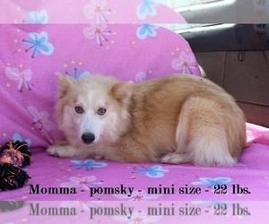 Mother of the Pomsky puppies born on 03/21/2021