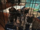 Bullmastiff Puppy For Sale in CHATTANOOGA, TN, USA