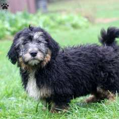 Miniature Bernedoodle Puppy For Sale in BETHEL, PA, USA