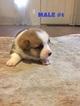 AKC Registered Pembroke Welsh Corgi Puppies