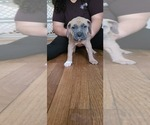 Puppy 7 American Bandogge