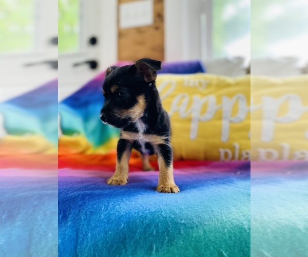 Medium Photo #4 Chorkie Puppy For Sale in COOKEVILLE, TN, USA