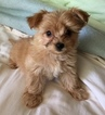 Morkie Puppy For Sale in MOUNTLAKE TERRACE, WA, USA