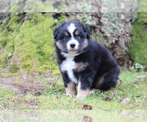 Australian Shepherd Puppy for Sale in CHEHALIS, Washington USA