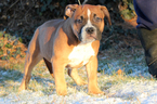 American Bully Puppy For Sale in LITTLESTOWN, PA, USA