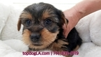 Yorkshire Terrier Puppy For Sale in LA MIRADA, CA, USA