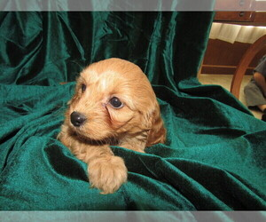 Cavapoo Puppy for sale in CHICAGO, IL, USA