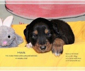 English Shepherd Puppy for Sale in EVANSVILLE, Indiana USA