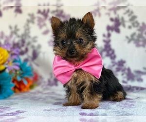 Australian Yorkshire Terrier Dog for Adoption in LANCASTER, Pennsylvania USA