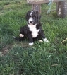 Bernese Mountain Poo Puppy For Sale in ARTHUR, IL, USA