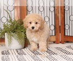 Small Poochon