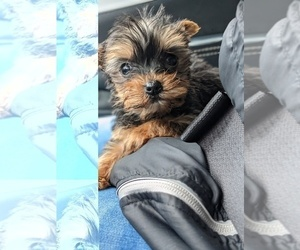 Yorkshire Terrier Puppy for sale in SPENCER, TN, USA