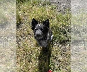 Australian Stumpy Tail Cattle Dog Dog for Adoption in PINOLE, California USA