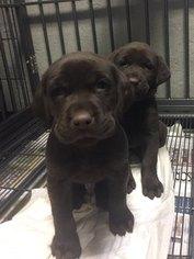 Labrador Retriever Puppy For Sale in SCOTT, LA, USA