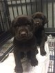 AKC Registered Chocolate Lab Puppies