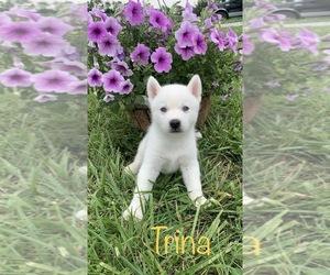 Siberian Husky Dog for Adoption in DEARBORN, Missouri USA