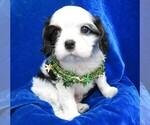 Small #10 Cavalier King Charles Spaniel