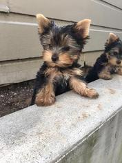 Yorkshire Terrier Puppy For Sale in SAN FRANCISCO, CA