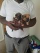 Bulloxer Puppy For Sale in PARKVILLE, MD, USA