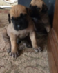 Daniff Puppy For Sale in DENTON, TX, USA