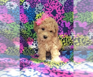 View Ad: Cantel Puppy for Sale near Pennsylvania, LANCASTER