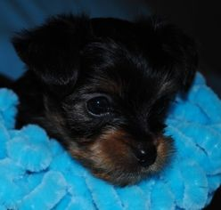 Yorkshire Terrier Puppy For Sale in FRANKFORT, KY, USA