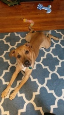Black Mouth Cur-Labrador Retriever Mix Dog For Adoption in ROCHESTER, NY