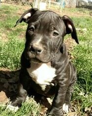 American Bully Puppy For Sale in BELTON, SC, USA