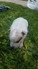 Australian Cattle Dog Puppy For Sale in ISU, ID, USA