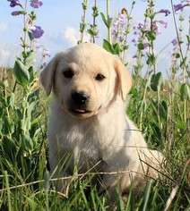 Labrador Retriever Puppy For Sale in AINSWORTH, NE, USA