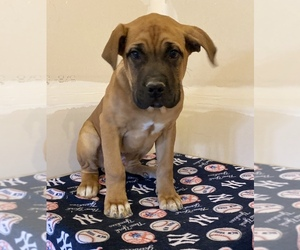 Cane Corso Puppy for sale in ABERDEEN, MD, USA