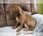 Small #7 Olde English Bulldogge