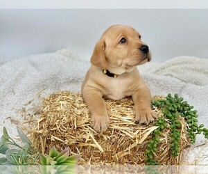 Labrador Retriever Puppy for sale in CYPRESS, TX, USA
