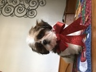 Shih Tzu Puppy For Sale in HOLIDAY, FL,