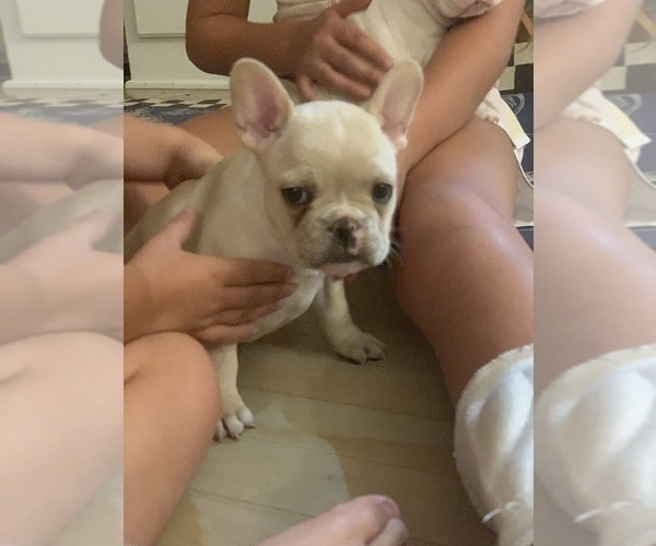 Medium Photo #17 French Bulldog Puppy For Sale in LEAWOOD, KS, USA