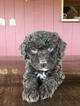 Spanish Water Dog Puppy For Sale in SEWARD, NE, USA