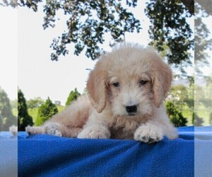 Labradoodle-Poodle (Miniature) Mix Puppy for sale in GAP, PA, USA