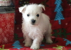 Westie Puppy For Sale