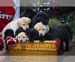 Labrador Retriever Puppy for Sale in CLEARWATER, Idaho USA